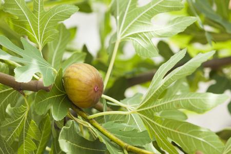 Tasty fig on tree between leaves.
