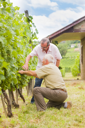 specialists: Two senior wine specialists checking the unseasonad grape in the fields. Stock Photo