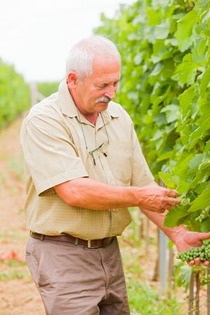 vinery: Contented senior winemaker checking still unripe grapes. Stock Photo