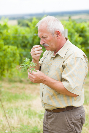 hayfever: Allergologist and agrarian taking ragweed sample from fields taking samples.