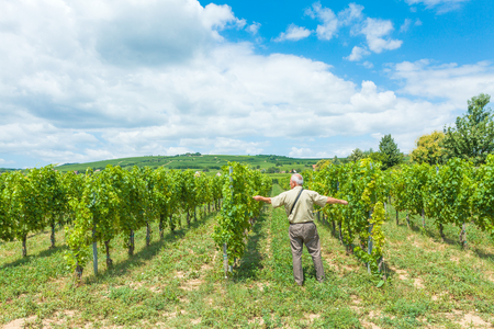 horticultural: Horticultural engineer measuring the distance between rowsin grape vine field.