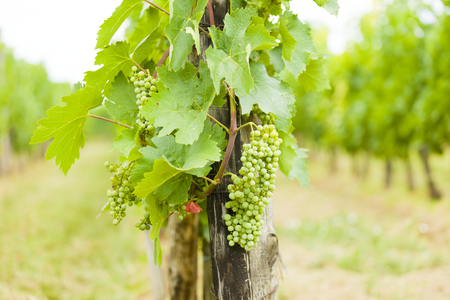 vealy: A closeup shot of unseasoned grape clove and grapevine outdoors from Hungary, Villany. Stock Photo