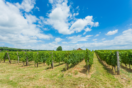 Attentively placed rows of grape vines under blue sky.