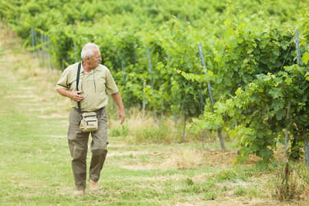 grape field: Elderly agrarian walking by his grape field in a cloudy summer day.