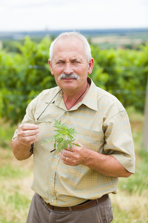 fever plant: A kind allergologist and agrarian taking ragweed samples from fields summing up the danger.