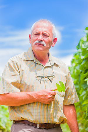 horticultural: Thinking senior horticultural professional outdoors in the fields with a grape leaf in his hands.
