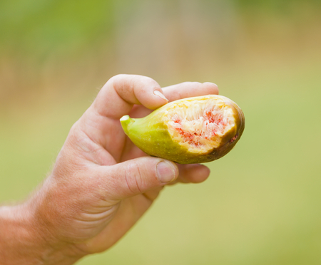 banian tree: A bitten  cut fig held by senior hands outdoors. Stock Photo