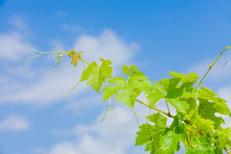 winemaker: Grape vine against blue sky from Hungarian winemaker region, Villany.