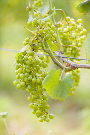 vealy: Unseasoned grape in summer in Villany, Hungary.