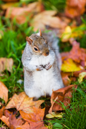 cuteness: A cute squirrel in the grass in autumn in St. Jamess park, London.