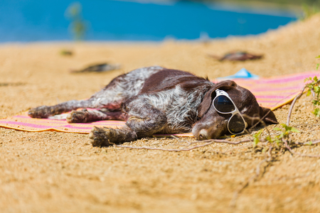 Hungarian beagle with sunglasses relaxing in the sun.