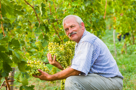 sauvignon blanc: Happy viticultor content with this years produce on the grape fields.