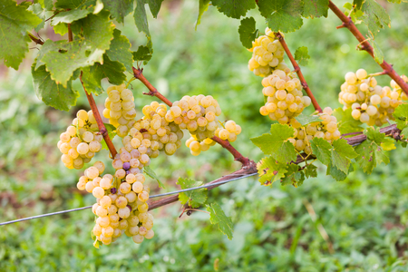 maintained: Attentively maintained white grape produce before harvesting.