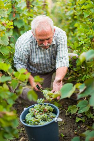 agrarian: Senior agrarian harvestin white grapes on the grape fields.