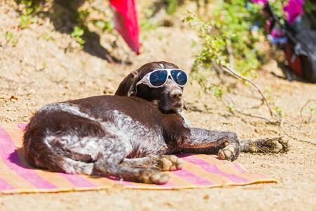 German beagle sunbathing on the beach in summer with sunglasses.