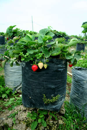 strawberries planted in black plastic pots and fruit sequentially Archivio Fotografico