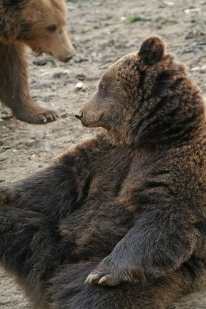 captive: Captive brown bear with dreaming expression