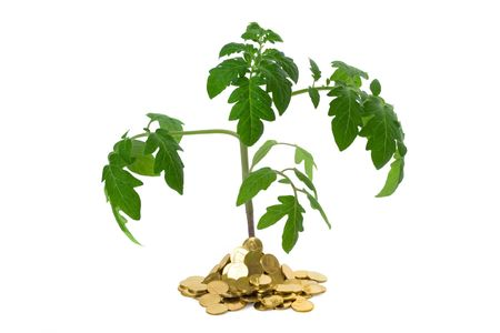 exuberant: Exuberant plant sprouting from a heap of golden coins (isolated) - concept for business growth and success