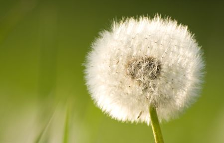 Dandelion closeup in the afternoon light - shallow DOF Stock Photo - 956236