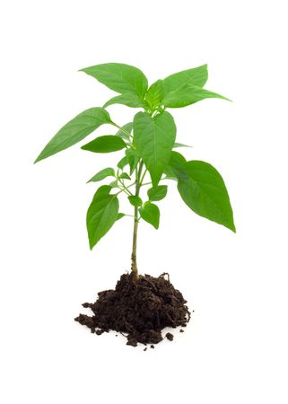 Vigorous young plant in a pile of rich soil - isolated Stock Photo