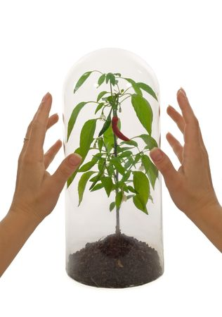 protected plant: Protected plant species under a glass bell with woman hands - isolated