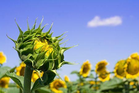 Sunflower bud on a sunny sunflowers field under a bright blue sky photo
