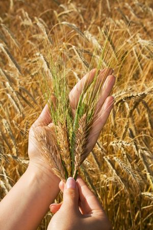 Woman hands holding crops against golden wheat field - concept for hope, wealth and natural eating photo