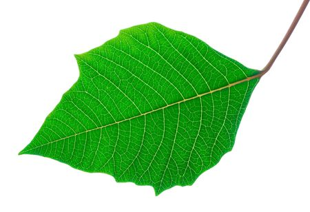 Isolated green leaf with detailed veins - backlit Stock Photo - 2671696