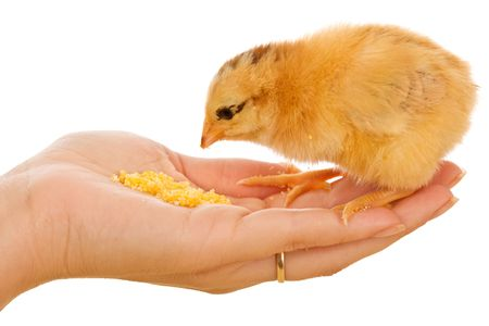 Little chicken in womans hand eating corn flour photo