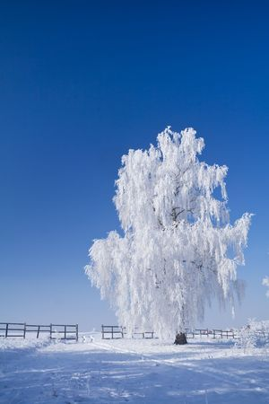 frigid: Lonely tree with white frost and deep blue skies  on a chilly winter morning Stock Photo