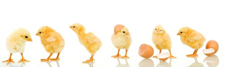 Lots of baby chicken in different positions - isolated with reflection photo