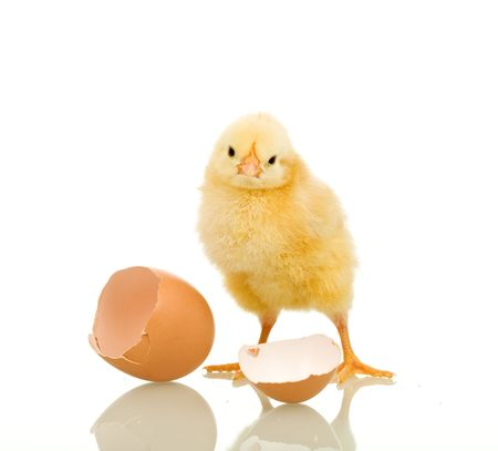 Little chicken with eggshell - isolated, reflection Stock Photo