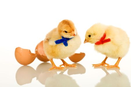 scarves: Easter party baby chickens with colorful scarves - isolated with reflection