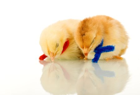 scarves: Sleeping baby chickens with colored scarves - isolated with reflection Stock Photo