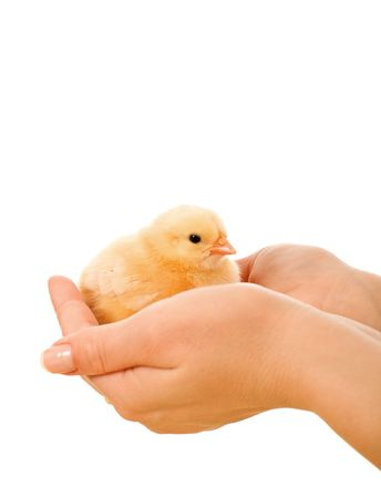 Little fluffy chicken held in woman hands - isolated photo