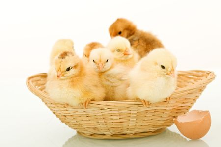 Basket full of sleepy fluffy baby chickens - white background and reflection photo