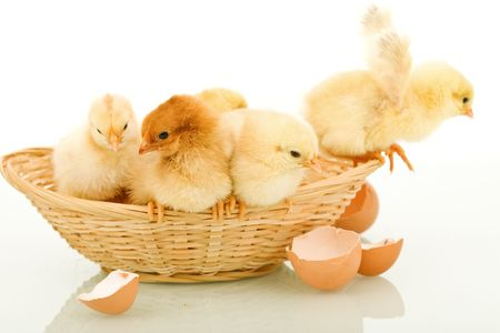 Small fluffy easter chickens in a basket and a few egg shells - isolated with reflection photo