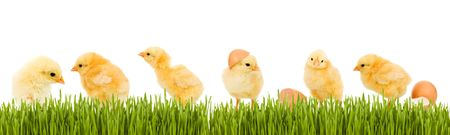 Lots of baby chicken and fresh green grass banner - isolated photo