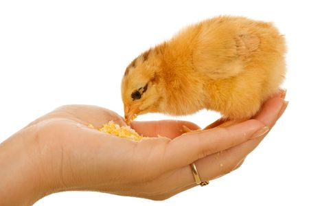 Baby chicken in woman hand eating - isolated photo