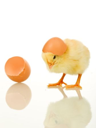 Little baby chicken with egg shell on its head - isolated photo