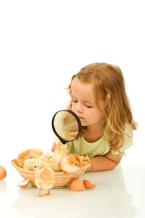 Little girl studying a basketful of fluffy yellow spring chicks photo