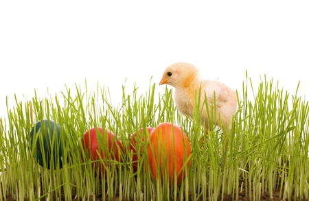 Little easter chick with colorful eggs in the grass - isolated with copy space photo