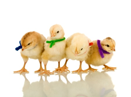 sciarpe: Polli birichino piccoli con sciarpe colorate - isolati con riflessione