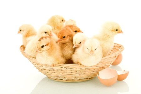 A basketful of fluffy yellow spring chickens - isolated with reflection photo