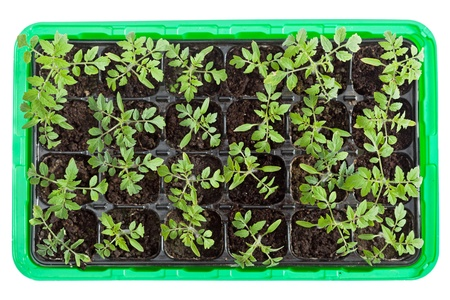 germination: Fresh green tomato seedlings in plastic germination tray - top view Stock Photo