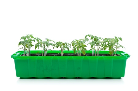 germinaci�n: Las pl�ntulas de tomate de primavera - las coles en la bandeja de germinaci�n de pl�stico