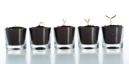 Young plant evolution - growth of spring seedling on white background photo