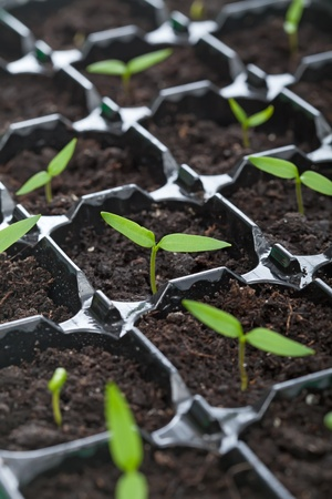Spring seedlings sprouting vigorously in black tray Stock Photo - 13358157