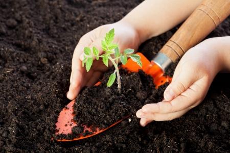 Child hands protecting tomato seedling on soil background 免版税图像