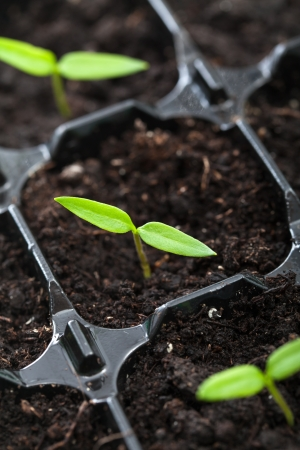 Spring seedling, a pepper plant, growing in germination tray - closeup photo